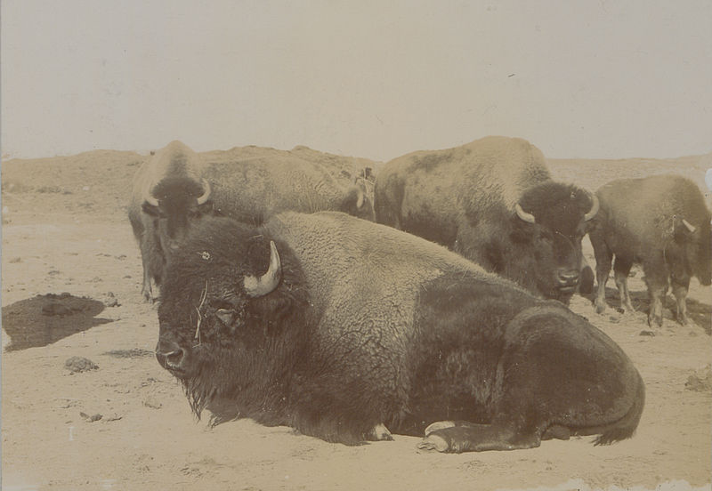 The last of the Canadian buffaloes Photo No 580 HS85-10-13487
