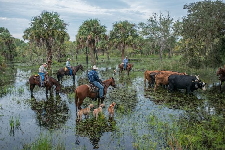 Florida Crackers Cattle and the Watering Hole